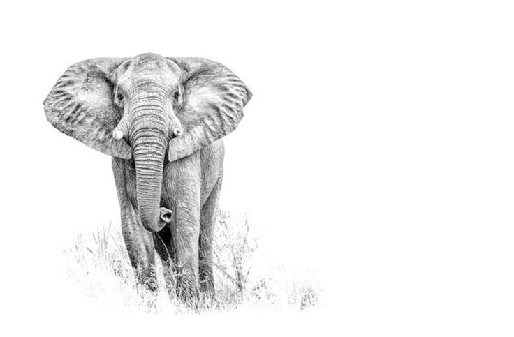 wildlife fine art print in BW of an elephanr bull by wildlife photographer Dave Hamman