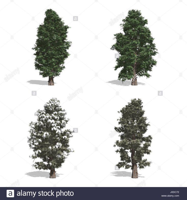 Red Cedar fák, elszigetelt fehér háttérrel.  Stock fotó