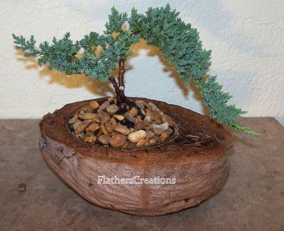 Bonsai Plant Juniper  in Coconut  planter Live plant Fathers Day gift. $45.00, via Etsy.