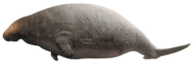 Steller's sea cow.  This not so ancient animal was hunted to extinction only 250 years ago.  Still it's sad the world has lost its largest ever Dugong (27 feet long).