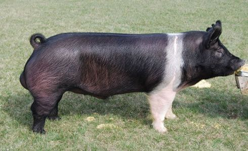 hampshire pig - Google Search
