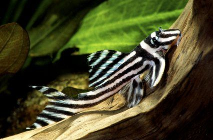 Breeding trio of Zebra plecs stolen