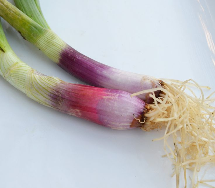 Red Beard Bunching Onion Seeds + FREE Bonus 6 Variety Seed Pack - a $30 Value!