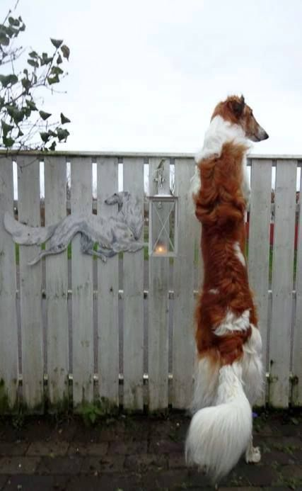 z- Borzoi Looking Over Fence