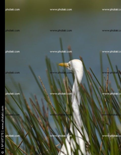 http://www.photaki.com/picture-waterfowl-surrounded-by-grass_697375.htm