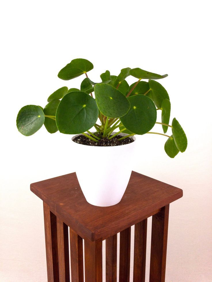 RARE Large Pilea Peperomioides (Chinese Money Plant) Live Houseplant Easy Care … – Money Plants