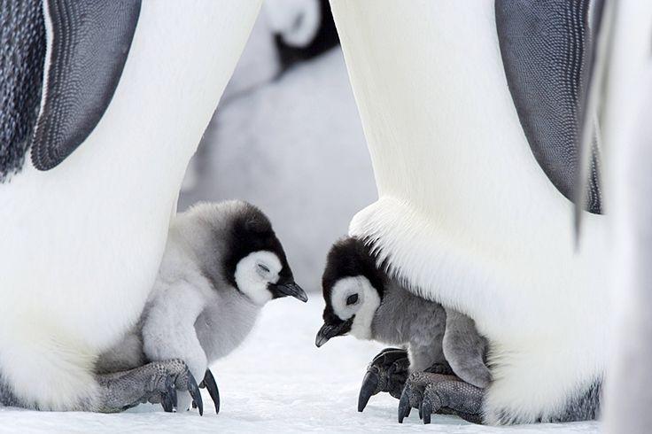 仲睦まじい皇帝ペンギンの親子
