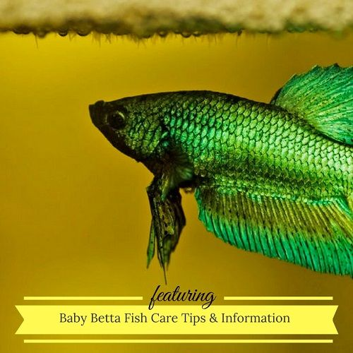 78 best ideas about betta fish care on pinterest betta for How long can a betta fish live