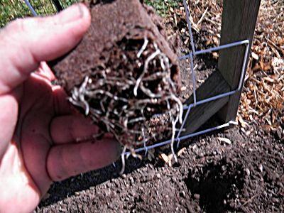 Transplanting cucumber seedlings