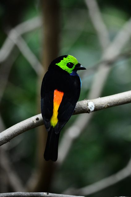 The Paradise Tanager (Tangara chilensis) The beak is black and the legs are grey. Found in humid tropical and subtropical forests in the western and northern Amazon Basin in South America.