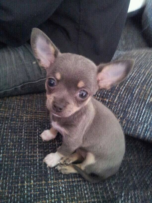 336 Best Chi Wow Was Images On Pinterest Chihuahua Love