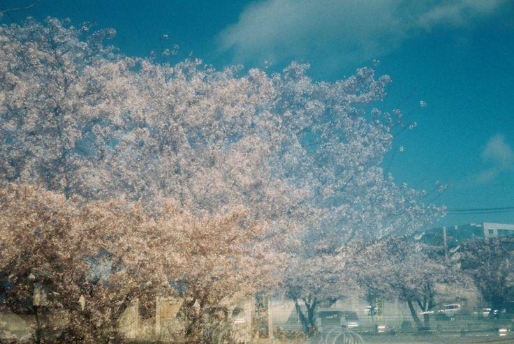 その他カメラ - 桜の思い出・・・多重もイケます -  多重露光  桜  - Camera Talk -