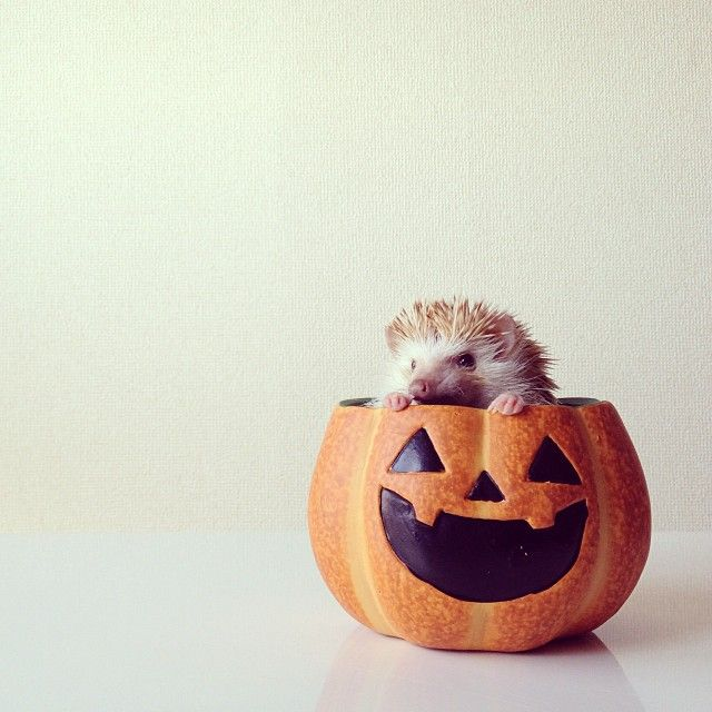 Best Darcy The Flying Hedgehog Images On Pinterest Adorable - Darcy cutest hedgehog ever