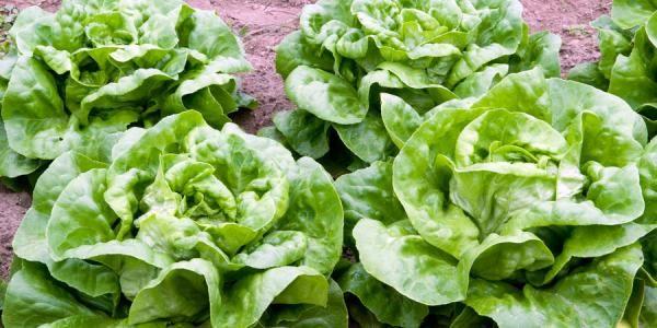 Como plantar alface - 10 passos - umComo
