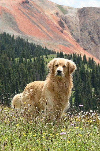 Golden Retriever – Warum sind sie die perfekten Ha…