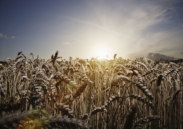 What Exactly Is Celiac Disease?: Wheat and other gluten grains damage your small intestine when you have celiac disease.