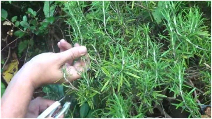 Aprenda A Criar Uma Planta De Alecrim A Partir De Um Simples Ramo