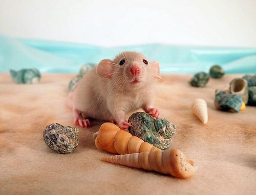 people meet rats for the first time
