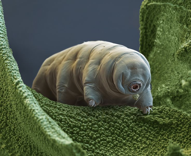 Quiz: What do you know about water bears? Tardigrades, or water bears, are considered the planet's toughest animal, but how well do you know this tiny survivor?