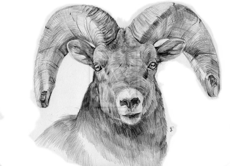 Long horn sheep coloring pages ~ 41 best tattoo ideas images on Pinterest | Tatoos, Elk ...