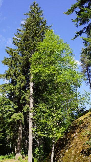 Tervehdys taasen totesi lehtipuu havupuulle, kun kesän loistoon pääsi.
