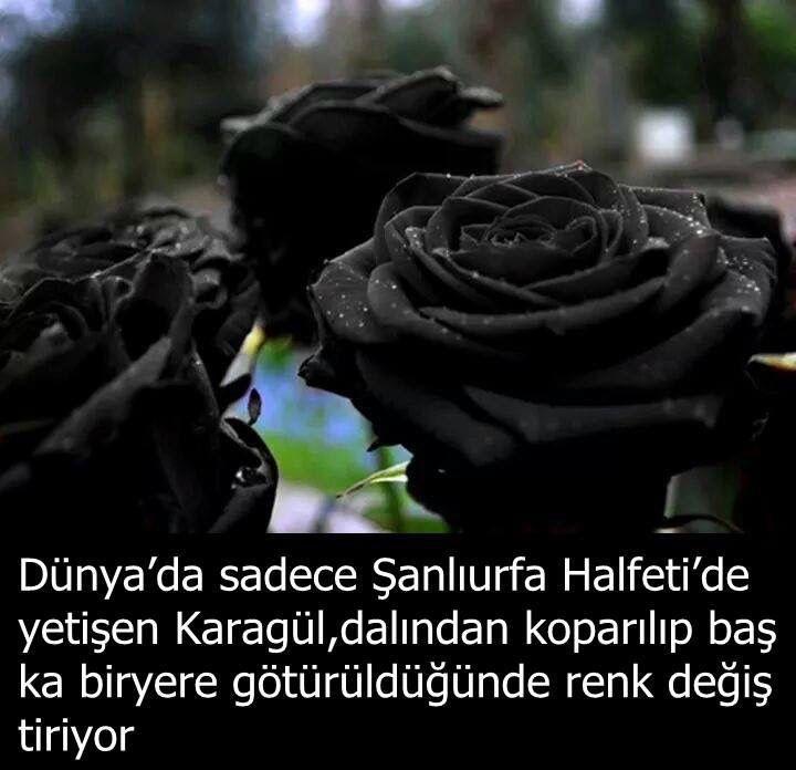 güllerin siyah kısmı şeytanın aşkını kırmızı olan taraflarıda var orasıda aşkı temsil eder bu yüzden dünlanın her yerinde kırmızı gül yeşerir ama siyah gül yeşermez
