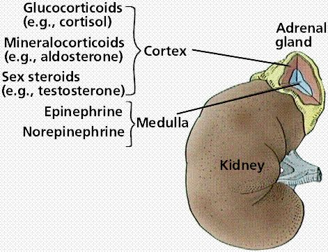 This image shows an overview of the hormones produced in the adrenal medulla and cortex. Epinephrine and norepinephrine produced in the adrenal medulla increase metabolic rate.