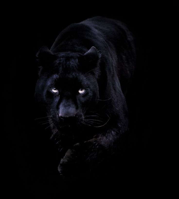 Panther | Luv black panthers | Pinterest | Panthers