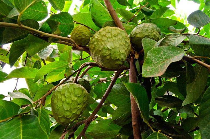 Rbol de chirimoya cultivo de arboles frutales pinterest - Como plantar arboles frutales ...