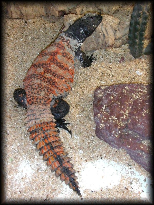 68 best images about Uromastyx on Pinterest | Search, Zoos ...