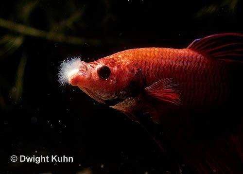 Columnaris cotton wool disease cotton mouth disease for Kanamycin for fish