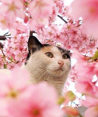 Hanami catAnimal Pics, Cherries Blossoms, Pink Flower, Photography Portraits, May Flower, Crazy Cat, Beautiful Birds, Cat Photos, Calico Cat