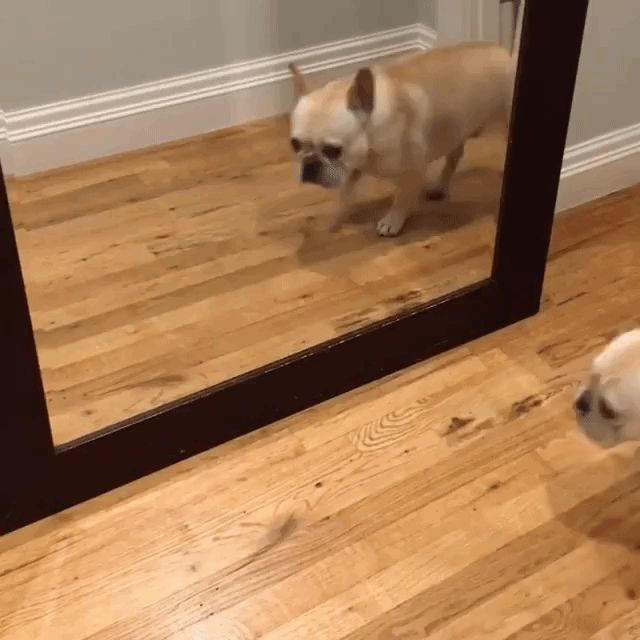 An adorable seafaring French bulldog named Bosun hilariously jumped at the sight of his own reflection in a mirror that reached down to the floor. Bosun was just going about his own business walking …