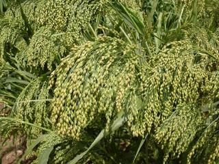 Dove Proso Millet Seed | Can reach 4 to 6 feet tall. An excellent plant for doves, quail and ducks, not to mention smaller birds.