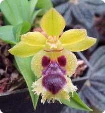 Haraella retrocalla - Orchideen der Schwerter Orchideenzucht
