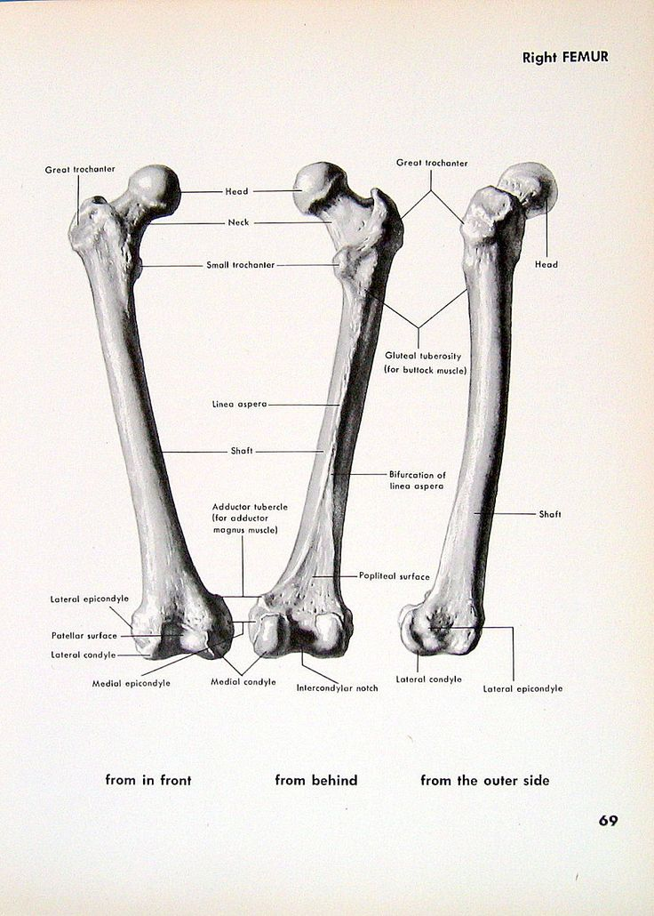Textbook Femur Bone Diagram - Wiring Diagram •