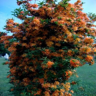 Gibraltar azalea , zone 4, acid soil, may be as tall as 6 foot by 4 foot.  several orange colors to choose from.  another must have item.