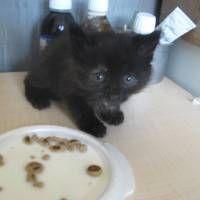 siyah renkli mavi gözlü, çok güzel yavru yuva arıyor