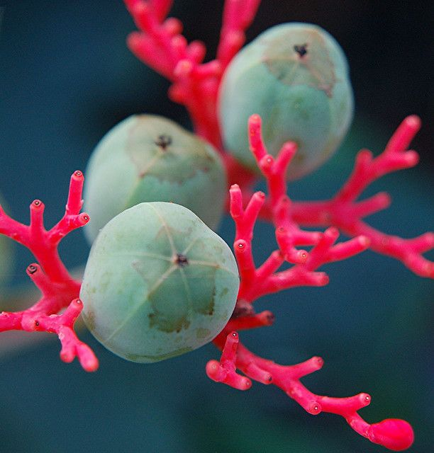 Astounding colors of glowing Coral Plant and its wondrous turquoise seeds by jungle mama, via Flickr