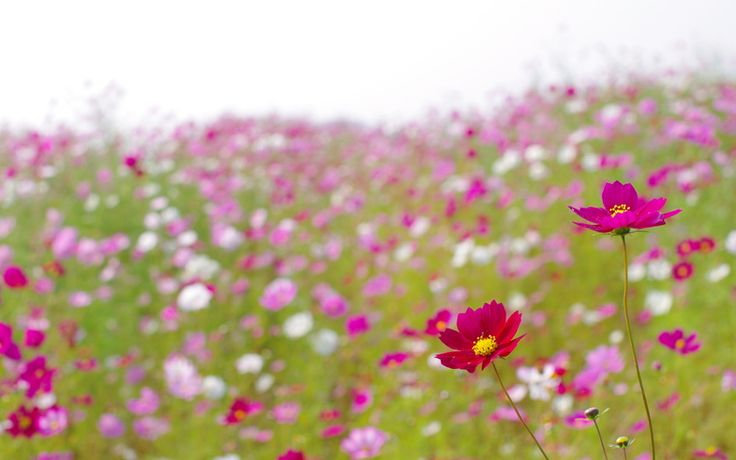 цветы, поле, поляна, лето, ярко, розовые, лепестки, космея, полевые