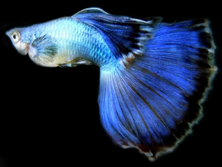 ГУППИ ЭНДЛЕРА (Japan Blue - Endler's guppy Neon Blue) » Домашний аквариум