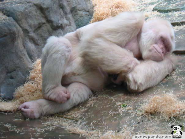 Snowflake (c. 1964 – November 24, 2003) was an albino gorilla. He was the only known albino gorilla so far (although not the only ape), and the most popular resident of the Barcelona Zoo in Catalonia, Spain. He died of skin cancer .boredpanda.com
