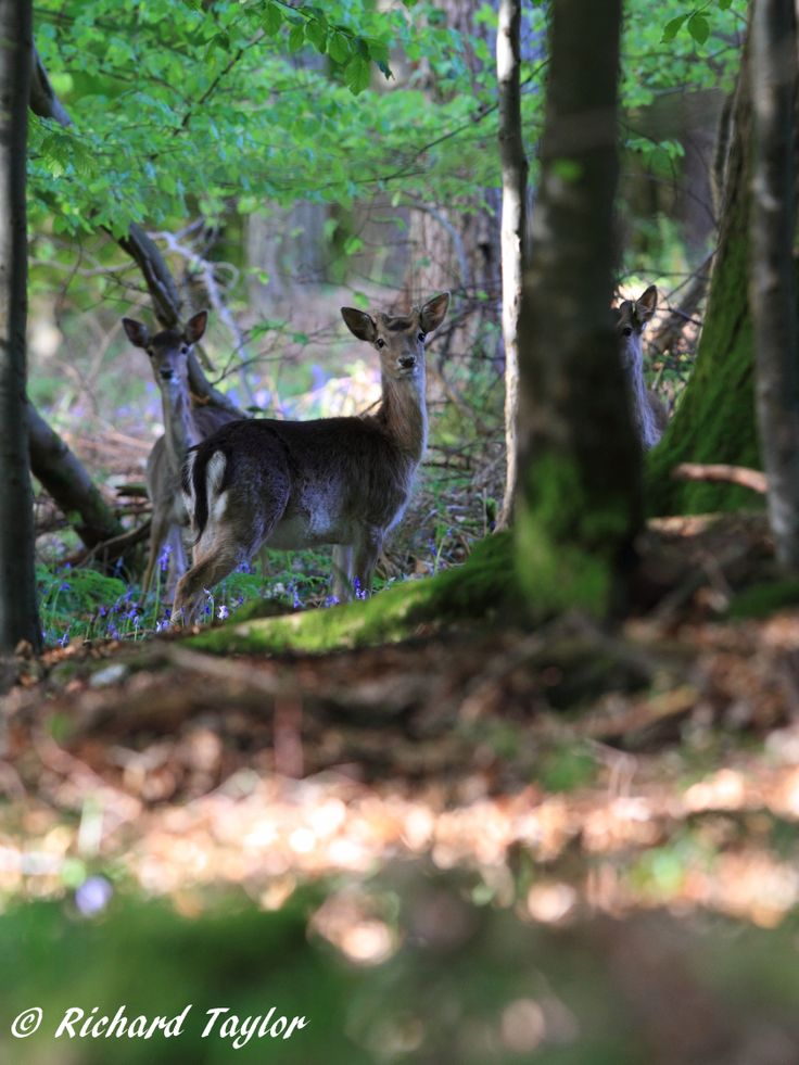 Fallow Deer posing in the early morning sun...actually just wondering what has dared disturb their peace and quiet!