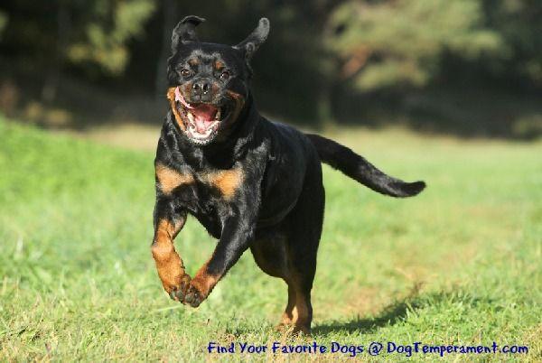 Rottweiler Temperament - Confident  Rottweiler Running