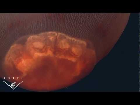 Jellyfish video | JellyWatch