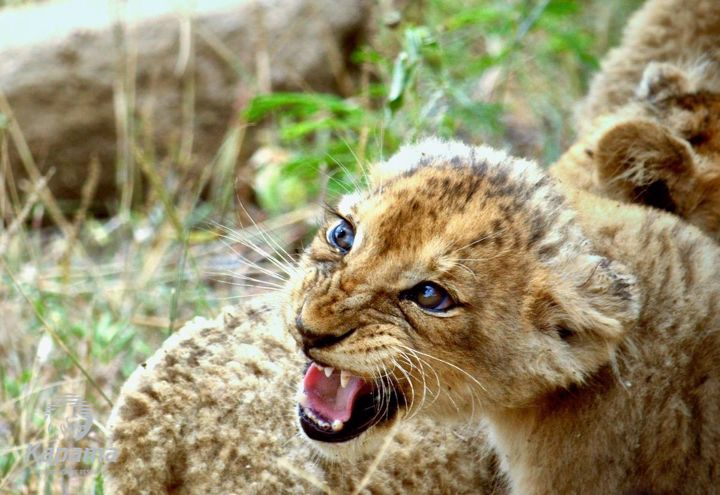 Lion cubs of Kapama Private Game Reserve