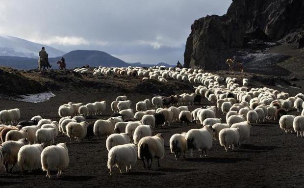 Rebanho de ovelhas, Islândia                                                                                                                                                      Mais