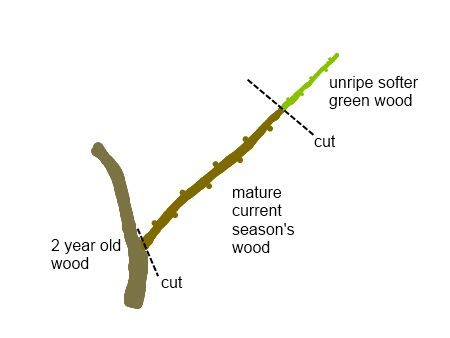 How to propagate tree cuttings - extremely useful info with pictures!