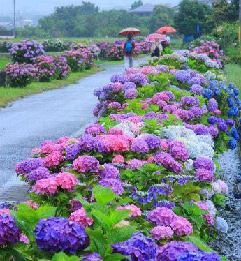 開成町で「あじさい祭り」-5000株があじさい色に咲き誇る http://eco.fmyokohama.co.jp/news/27222