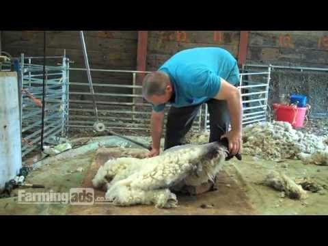 How to shear a sheep (someday I'll be crazy enough to try this!)